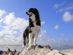 Queen Of The Beach (gebodogs) Tags: beach washington 5bestdogs bordercollie melba greatpyrenees top20dogs