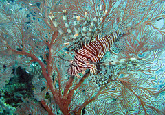 Lionfish in Sea fan at Dinding Rene (Patrik Nilsson) Tags: indonesia underwater 2006 lionfish seafan blueribbonwinner rajaampat cotcbestof2006 misool dindingrene