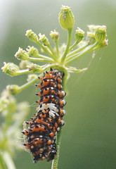 Early Instar of the Black Swallowtail Butterfly Caterpillar