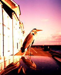 Heron-side-2 (stusea) Tags: questfortherest