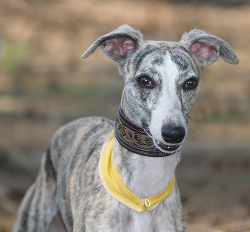 WY meets WiN: Whippet Zoe