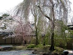 京都・高台寺 さくら桜5