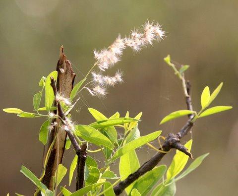 Wind Dispersed Seeds, JPNagar Reserve Forest, 12 May 07