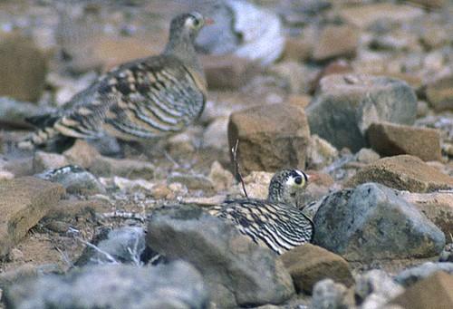 Lichtenstein's Sandgrouse, males by Pia's birdseye view.