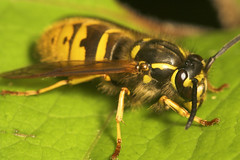 "Median Wasp (Dolichovespula media)(5) • <a style=""font-size:0.8em;"" href=""http://www.flickr.com/photos/57024565@N00/499271973/"" target=""_blank"">View on Flickr</a>"