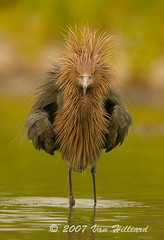 Reddish Egret Sporting a New Do (vanessa hilliard) Tags: bird nature birds bravo display florida humor feathers preening endangered avian herons egrets photooftheday exp ruffled wadingbird reddishegret egrettarufescens magicdonkey specanimal mywinners avianexcellence megashot excellentphotographerawards red0705124743800jpg 27aug2007 vanhilliard
