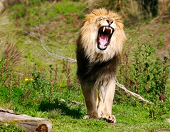 ROAR!!!!!!!!!!!!!!!!!!!!!!!!!!!!!!!!! (Don Baird) Tags: dinner lol breath eat neice remove snack scream chase etc catch growl roar munch yell hunt spank grrrrr naturesfinest specanimal animalkingdomelite specanimalphotooftheday chopnecks andwhenimdonepurrrrrrrr collectbones