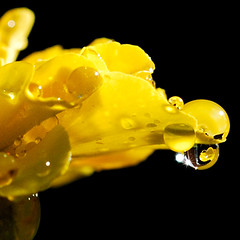 The Shining (Cesar R.) Tags: flower macro nature wet water rain yellow d50 lluvia agua nikon bravo drop nikond50 explore micro droplet 60mm gota nikkor mojada magicdonkey irresistiblebeauty wowiekazowie superhearts