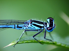 Azuurjuffer close-up (mion.nl) Tags: insect bravo searchthebest insects naturesfinest coenagrionpuella azuurjuffer animalkingdomelite abigfave anawesomeshot superaplus aplusphoto 1on1allbugs copyrightmionnl mionnl