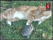 Tortoise Chasing a Cat