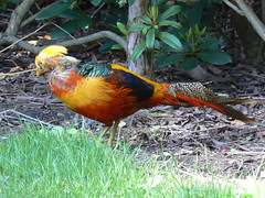 Golden Pheasant (michl_007) Tags: uk england bird london birds kew lumix golden pheasant chinese aves richmond surrey worldheritagesite panasonic animalia dmc royalbotanicgardens chinesepheasant goldenpheasant chrysolophuspictus pictus chordata chrysolophus galliformes fz7 phasiandae