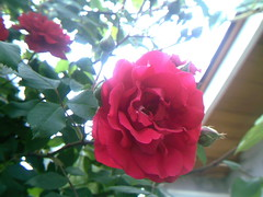 A rose on a rose bush over 100 years old (Yakima_gulag) Tags: set nursery mcmahans