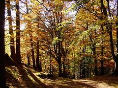 Tay Forest (Martin Third) Tags: wood uk greatbritain autumn trees fall leaves forest scotland britishisles unitedkingdom britain hermitage dunkeld tayforest perthsire sonys70