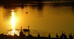 The gathering of gold (SolsticeSol) Tags: sunset reflection water birds silhouette golden geese spring pond glow moody sunsetonwater michi