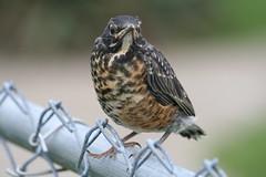 Juvenile American Robin (Cindy シンデイー) Tags: bird robin backyard dof watching juvenile goldstaraward