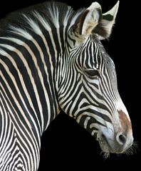 Never ending stripes!  Zebra! (lemperleconnie) Tags: fab eye nature bravo searchthebest oneofakind explore trophy soe animalplanet creamofthecrop cincinnatizoo naturesfinest blueribbonwinner welcometomyworld parkstock supershot magicdonkey flickrsbest animaladdiction specanimal top10interestingness animalkingdomelite mywinners abigfave flickrgold anawesomeshot impressedbeauty fantasticanimalphotos ultimateshot lemperleconnie flickrplatinum amazingshots superbmasterpiece beyondexcellence goldenphotographer ithinkthisisart allrightsreserved diamondclassphotographer flickrdiamond lmaoanimalphotoaward tiggleschoice elpasojoesplace citrit whitspics bestofanimalplanet excellentphotographeraward flickrelite empyreananimals thatsclassy photostosmileabout everythingaboutzebrastripes everythingaboutzebraandstripes outstandinganimalphotos bestofanimals