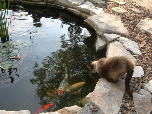 Drinking from the koi pond