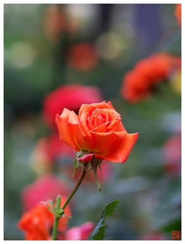 Orange Rose #01