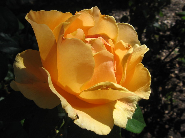 spb_rose_2