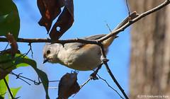 Tufted Titmouse Above My Head (Kaptured by Kala) Tags: baeolophusbicolor tuftedtitmouse graybird whiterocklake dallastexas fishhatchery forest woodland abovemyhead closeup