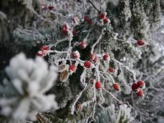 frosted fir 03 (FotoFrom) Tags: rosehip hagebutten hagebutte frosted mitreifbedeckt reif winterreif frostedrosehip winter bush fir redandwhite redandgreen rotundweis rotundgrün