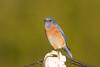 DSC_9520.jpg Western Bluebird, UCSC Farm (ldjaffe) Tags: ucscfarm westernbluebird