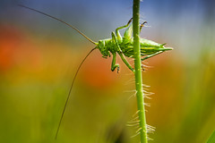 It's alive.... (marionrosengarten) Tags: flip grasshopper green itsalive insect summer poppyfield hometown nikon grashüpfer grün insekt macromondays sensors fühler mohnblumenfeld sigma18125f56