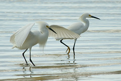 Soft Landing: Snowy Egrets on Tampa Bay (ramislevy) Tags: bird wings tampabay florida egret snowyegret naturesfinest featheryfriday 25faves blogslideshow animalkingdomelite abigfave impressedbeauty