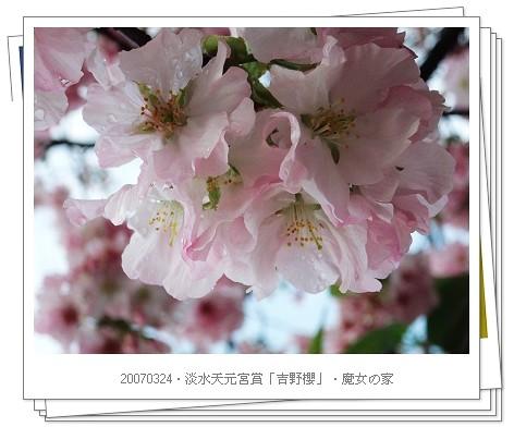 2007年3月天元宮賞吉野櫻80