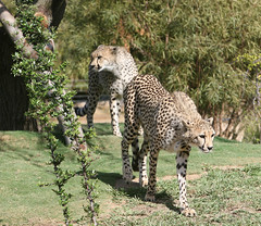 Cheetah girls make their debut (kjdrill) Tags: california africa park girls wild usa public animal mammal sandiego wildlife fast bigcat worlds land cheetah cubs fastest exoticcats bigcats debut escondido moyo endangeredspecies etana pombe