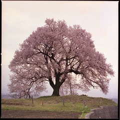 this cherry tree is 400 years old (HASSELBLAD 500C/M) (potopoto53age) Tags: pink flowers plant flower tree 6x6 film japan zeiss t hasselblad   brownie fujifilm realaace   cherrytree  reala yamanashi planar  80mm peopleschoice hassel carlzeiss   hasselblad500cm  helluva 500x500 firstquality  nirasaki wanizuka abigfave 400yearsold impressedbeauty superaplus aplusphoto visiongroup holidaysvacanzeurlaub treesubject carlzeissplanar80mmf28t awesometrees  platinumheartaward  potopoto53age