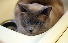 Harcuvar Hiding (arbyreed) Tags: cat utah sink siamesecat siamese hide bluepoint arbyreed