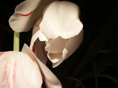 tulips (Mamluke) Tags: pink light sun sunlight white flower texture textura blanco fleur rose petals flor rosa tulip tageslicht sunlit blume fiore weis wit bianco blanc zonlicht roze beschaffenheit textuur lumiredusoleil luzdelsol mamluke lucesolare