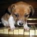 子犬:chopin