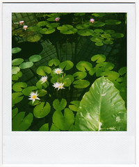 I went to the Conservatory of Flowers today. And took a single Polaroid.* (Cynthia E. Wood) Tags: sanfrancisco california goldengatepark wood flowers flower reflection green film garden polaroid botanical photography photo interestingness pond flora www fv5 explore lilies 600 integral april lilypads cynthia polaroid600 plantlife repost 2007 chaching lilypond conservatoryofflowers sfist cynner cynnersf cynthiawood april182007 dollarapop cynthiaewood wwwcynthiawoodphotocom gapaugsep092 gettypick cynthiaewood