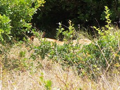 Lions hiding in the shade