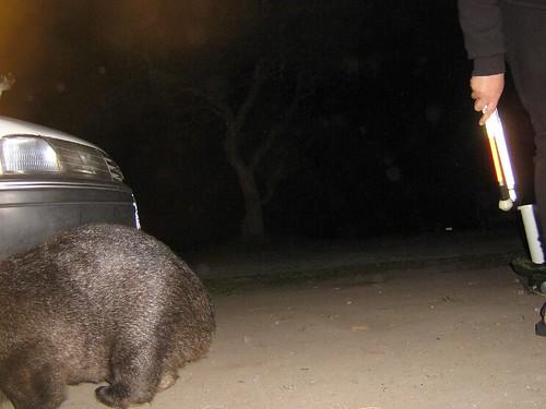me vs wombat