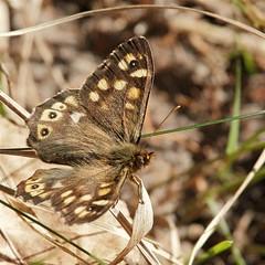 Lasiommata megera (webted) Tags: brown sun forest butterfly spring thenetherlands bos lente zon vlinder bruin voorjaar lagevuursche soest firstgeneration destulp helluva lasiommatamegera argusvlinder wowiekazowie