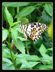 The Lime / Lemon Butterfly or Chequered Swallowtail, resting on the leaves of Cat's Whiskers (Orthosiphon stamineus)