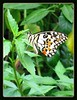 Lime/Lemon Butterfly or Chequered Swallowtail (Papilio demoleus malayanus)