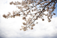 * fallen from sky (* tathei *) Tags: city sky flower japan zeiss canon cherry eos 50mm blossom f14  5d  dslr miyagi manualfocus hanami zf shiroshi hitomesenbon   50mmt
