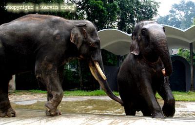 Elephant-Pair