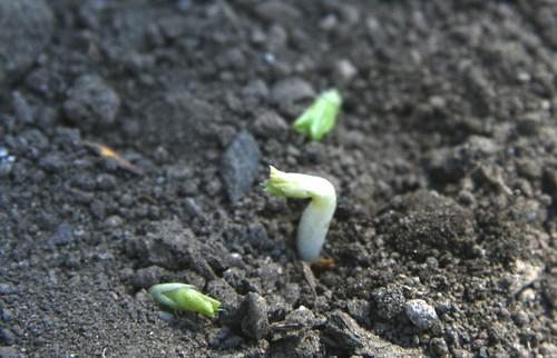 pea sprouts