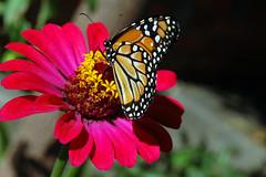 Butterfly ! (crenan) Tags: macro me beauty butterfly d50 interesting nikon calendar natural photos natureza fast explore inseto borboleta santamaria score finest natures blueribbonwinner d80 scoremefast cmeradeourobrasil crenan grupo1a10brasil visofotogrfica carlosrenanpiressantos