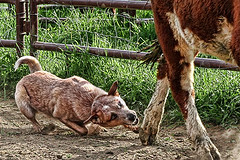 Parker the Red Heeler Heeling Not Healing (zingpix) Tags: usa dog dogs jeff washington all cattle  australian rights queensland jeffrey australiancattledog reserved heeler acd herding allrightsreserved zingpix jeffjaquish jaquish jeffreyjaquish