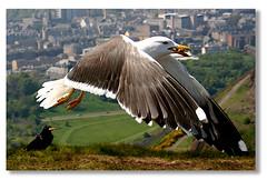 It stole our biscuits (Cory') Tags: uk bird scotland edinburgh seagull arthursseat naturesfinest 25faves abigfave avianexcellence flickrdiamond