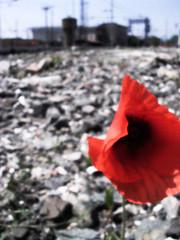 Bottoncini rossi di maggio... (stefania micco) Tags: sassi rosso stazione contrasto papavero