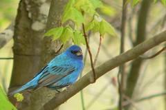 Indigo Bunting (Casteel) Tags: blue black bird indigo indigobunting passerinacyanea passerina cardinalidae