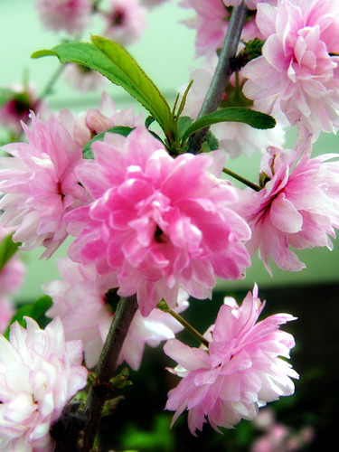 floweringalmond