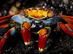 Sally Lightfoot Crab 4 - by Max xx